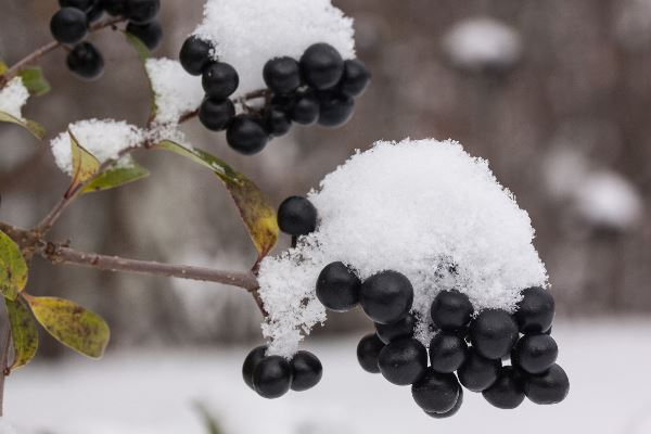 Picture of snow covered berries in New Zealand